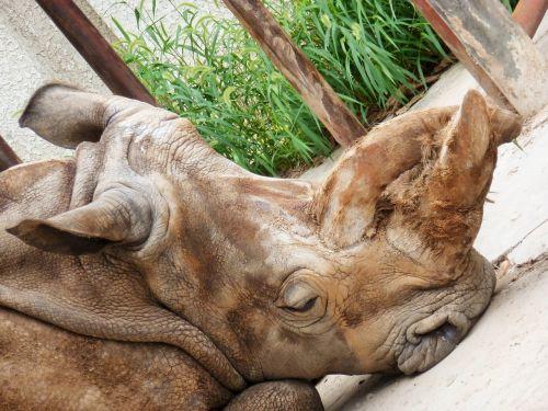 rhino rhinoceros perissodactyla