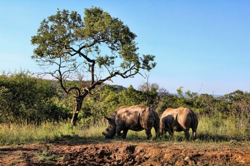 rhino animal world pachyderm