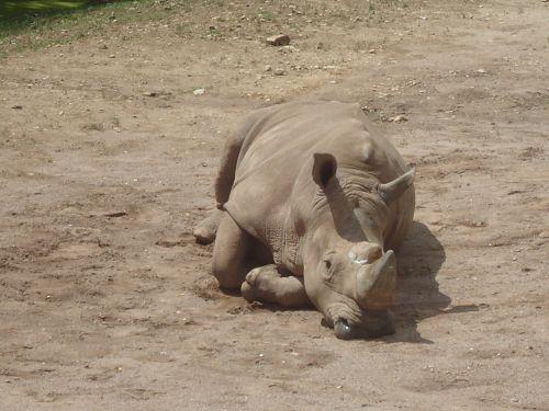 rhino zoo rhinoceros