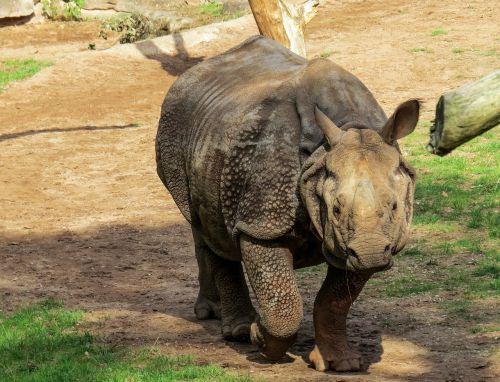 rhino pachyderm zoo