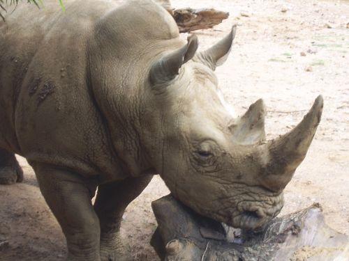 Rhino Animal