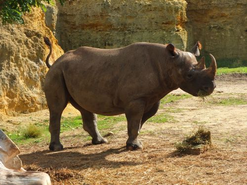 rhinoceros black rhinoceros africa