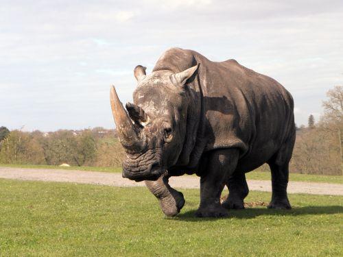 rhinoceros rhino animal