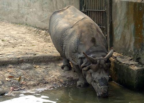 rhinoceros one-horned animal