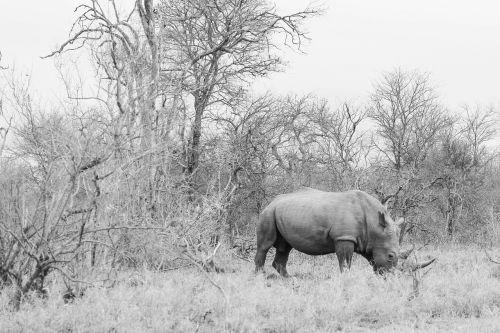 rhinoceros nature landscape grey