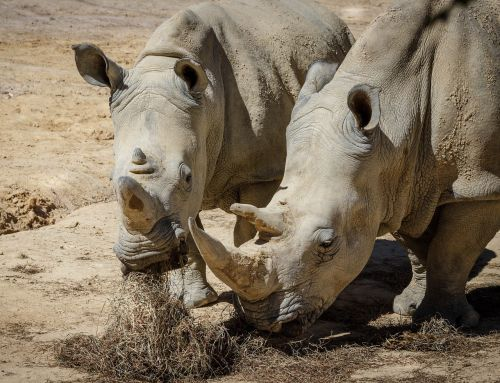 rhinoceros white rhinoceros white rhino
