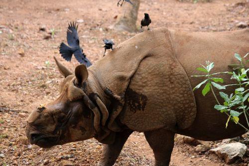 rhinoceros animal zoo