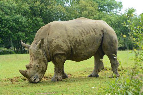rhinoceros mammal herbivore