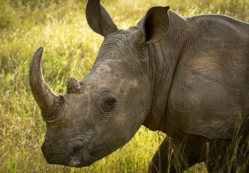 rhinoceros wildlife endangered