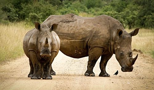 rhinoceros close couple