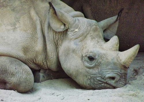 rhinoceros kel animals