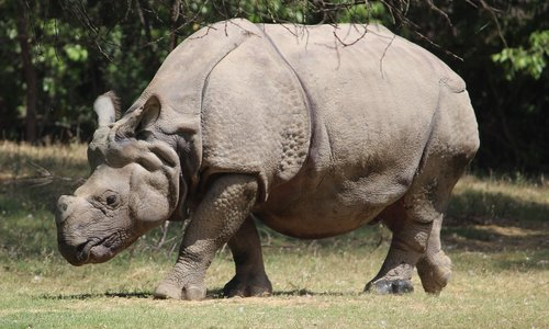 raganosis, gyvūnas, žinduolis, pobūdį, laukinių, Gyvūnijos, didelis, barbariška, žolė, parkas, Safari, rezervas, stiprus, žolėdis, pavojus, ragas, didelis, išsaugojimas, didelis