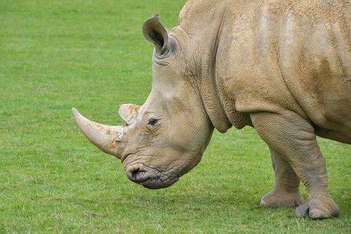 rhinoceros  grass  horn