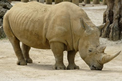 rhinoceros animal african