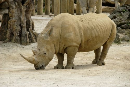 rhinoceros bihorned wildlife