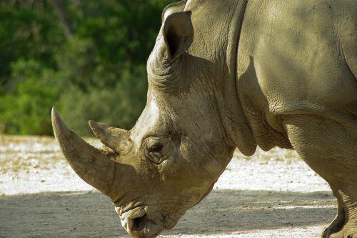 rhinoceros horns wild animal