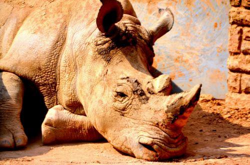Rhinoceros (a)