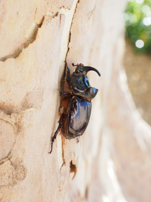 rhinoceros beetle horn tree