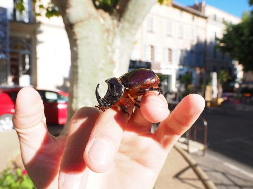 rhinoceros beetle beetle krabbeltier