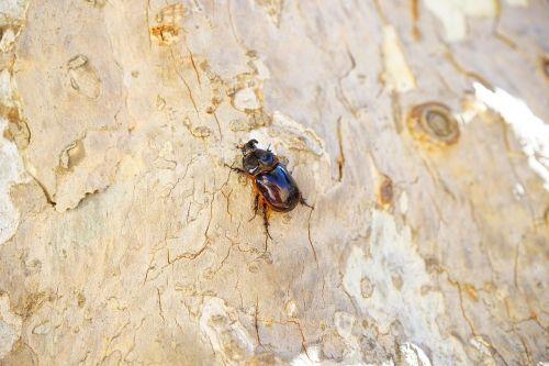 rhinoceros beetle beetle horn
