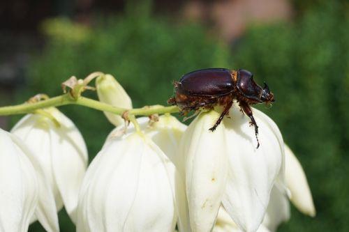 rhinoceros beetle animal insect
