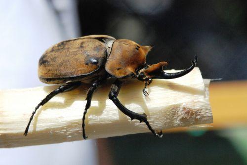 rhinoceros beetle beetle insect