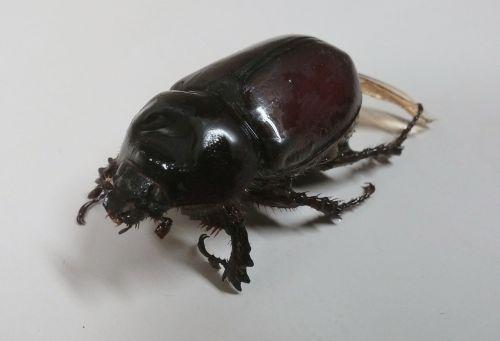 rhinoceros beetle beetle beetles