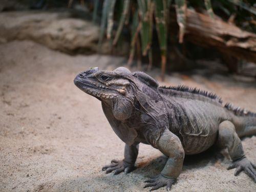 rhinoceros iguana iguana reptile