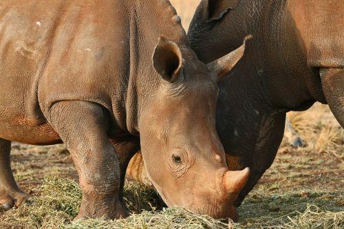 rhinoceros pair game animals