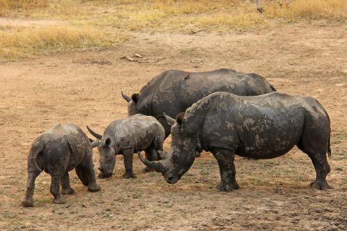 rhinos baby rhino exciting