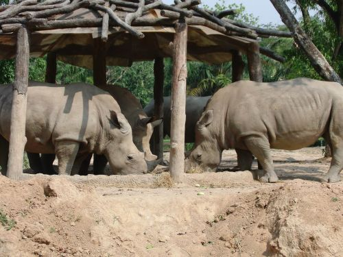 rhinos zoo eat