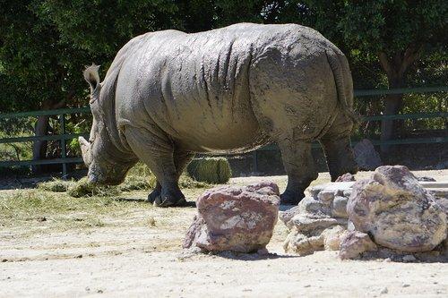 rhinos  placental mammals  black rhino