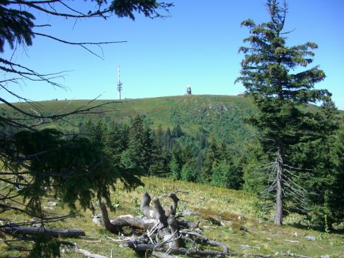 rhizome spruce firs