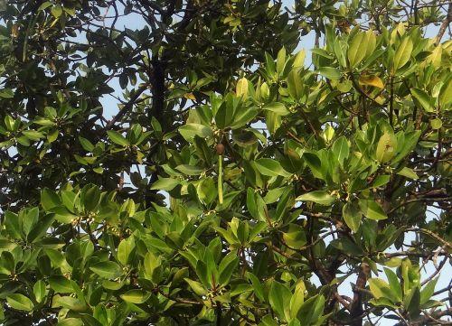 rhizophora apiculata red mangrove tidal forest