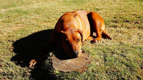 rhodesian ridgeback dog pet