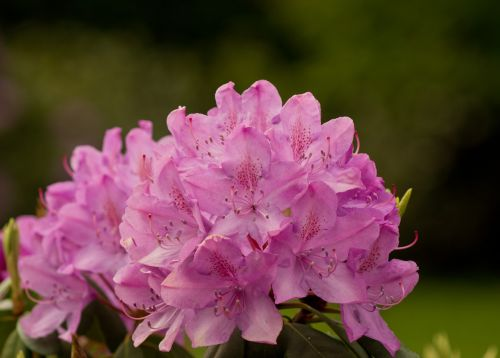 rhododendron rhododendron cosima heather green