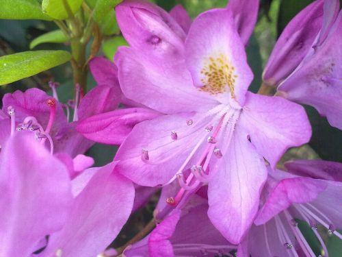 rhododendron vernal light pink