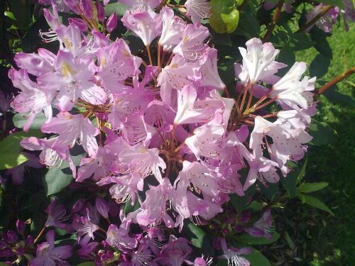 rhododendron pink vernal