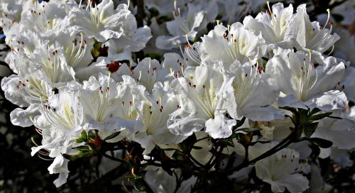 rhododendron flowers white