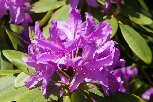 rhododendron traub notes doldentraub