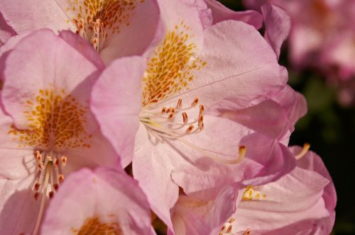rhododendron garden blossom