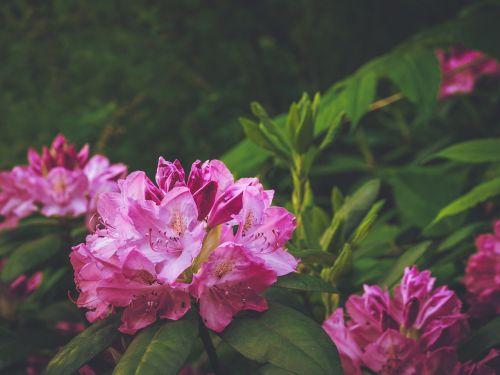 Rododendras,raudona,krūmas,gėlė,gamta,vasara,pumpurai,sodas,twilight,suomių,augalas,Iš arti,augti