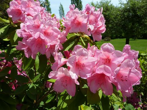 rhododendron pink flower