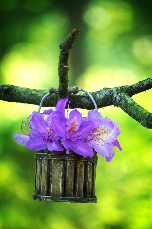 rhododendron purple blossom