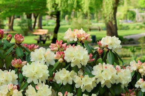 rhododendron  rosenbaum  blossom