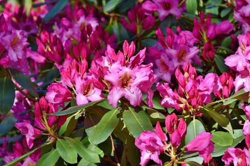 rhododendron  rhododendron buds  rhododendron flower