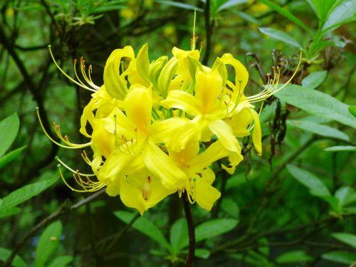 rhododendron flower azalea