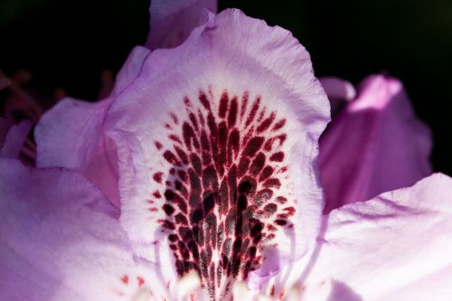 rhododendron single flower blossom