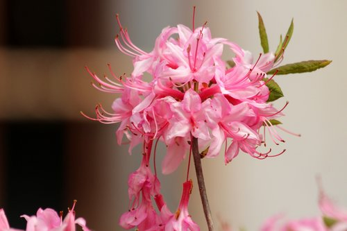 rhododendron  plant  pink flowers