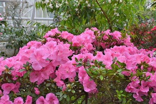 rhododendron  rhododendron buds  perennials